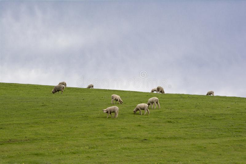 Ovejas y corderos que pastan en la ladera, Barossa Valley, Austr del sur imagen de archivo