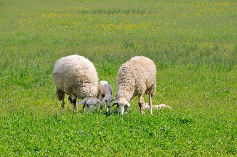 Ovejas y corderos que pastan en prado fotografía de archivo