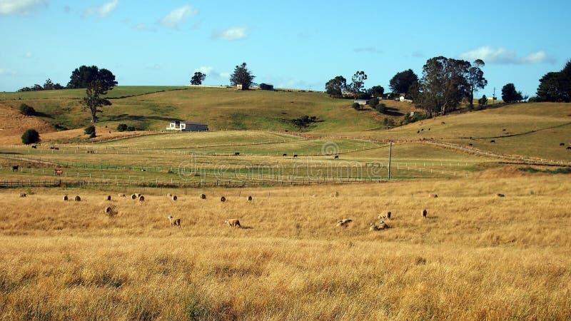 Ovejas y ganado que pastan en los prados abiertos, Tasmania imagen de archivo libre de regalías