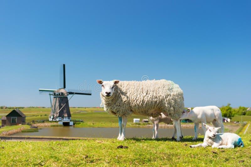 Ovejas y molino de viento en la isla holandesa Texel imagen de archivo libre de regalías