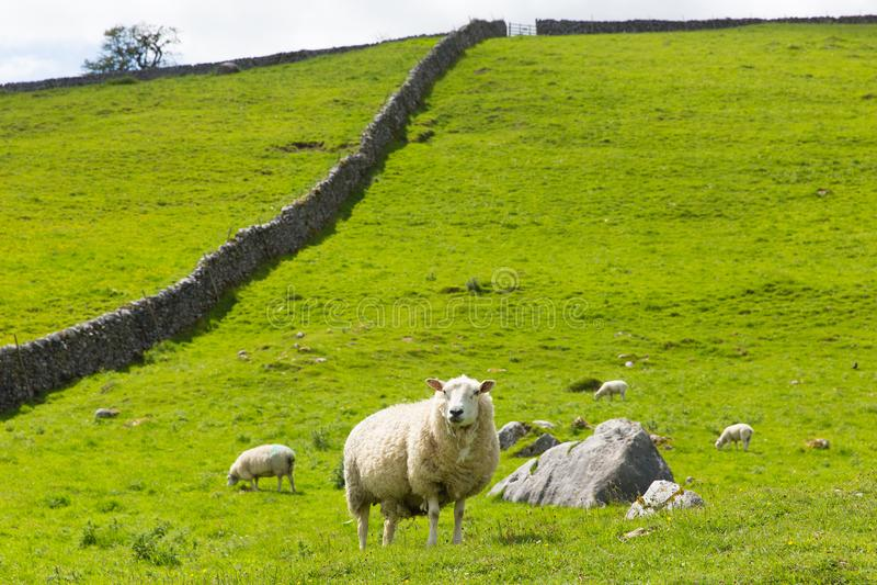 Ovejas y pared de piedra seca en los valles Inglaterra Reino Unido de Yorkshire fotografía de archivo