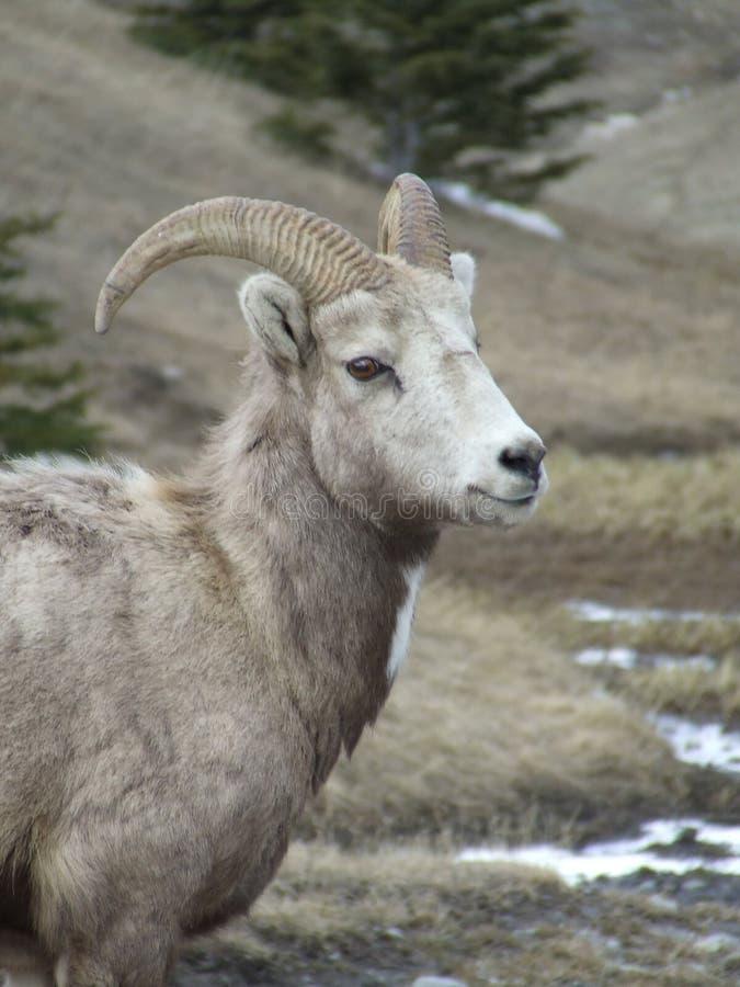 Ovelha de Bighorn foto de stock royalty free