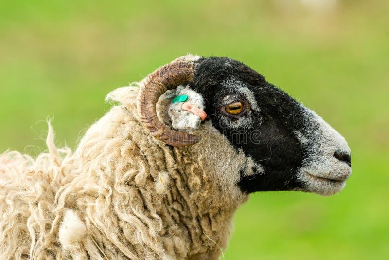 Ovelha de Swaledale que enfrenta certo com fundo verde limpo imagem de stock