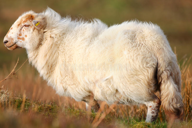 Ovelha dos carneiros imagem de stock royalty free