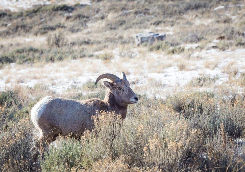 Ovelha dos carneiros de Bighorn foto de stock