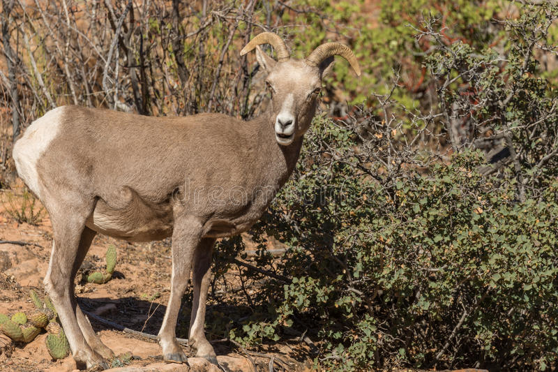 Ovelha dos carneiros de Bighorn do deserto fotos de stock