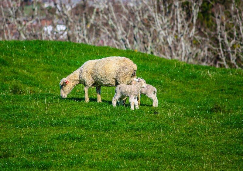 Ovelha e cordeiro em um pasto, Auckland, Nova Zelândia imagem de stock