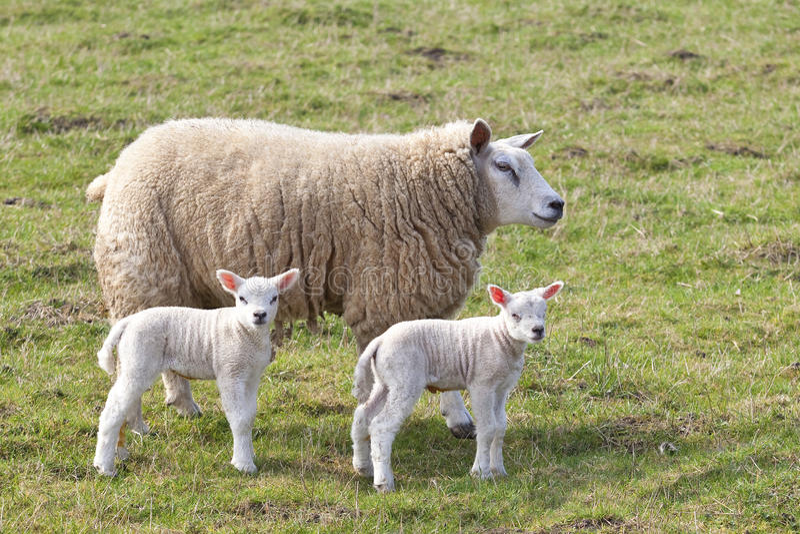 Ovelha e cordeiros gêmeos fotos de stock royalty free