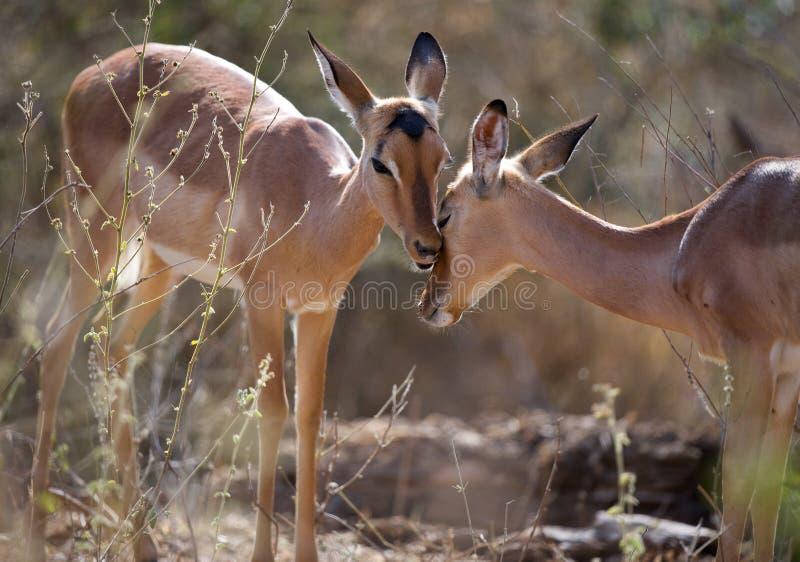Ovelhas da impala imagens de stock royalty free