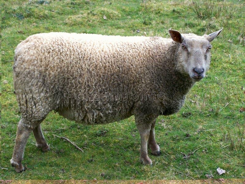 Ovelhas que pastam no verão imagens de stock royalty free