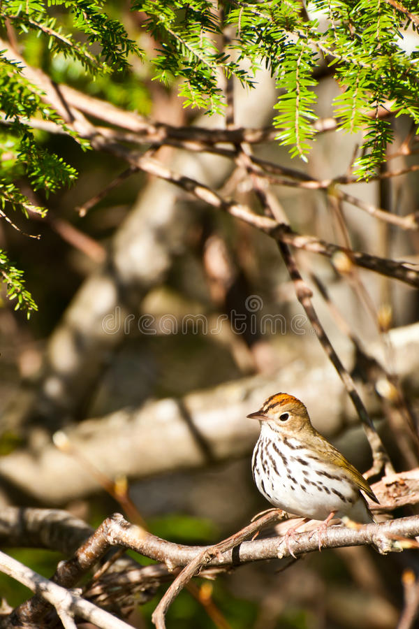Ovenbird royaltyfri foto