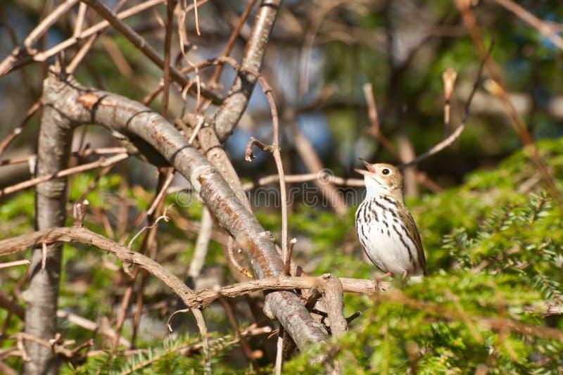 Ovenbird fotografia stock