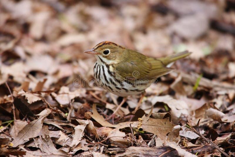 Ovenbird (aurocapillus di aurocapillus del Seiurus) immagini stock libere da diritti