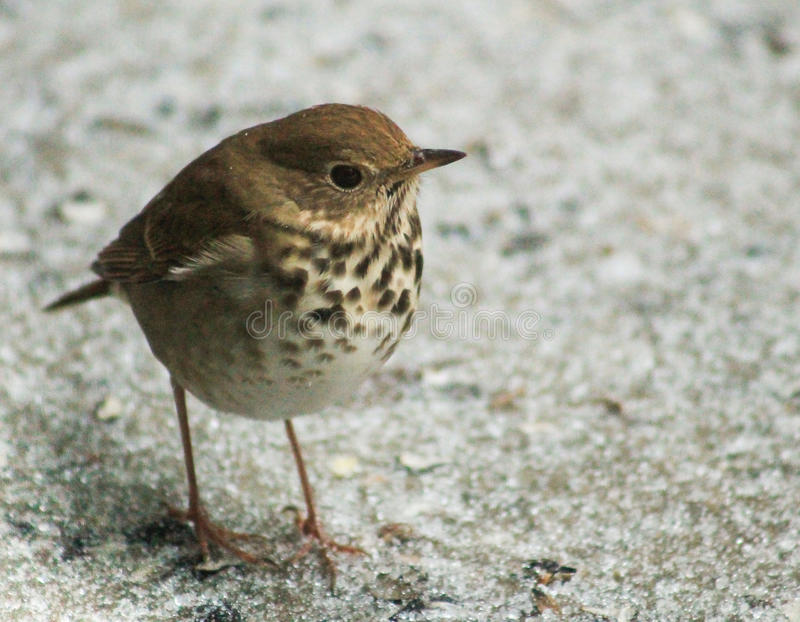 Ovenbird i vinterisen royaltyfria bilder