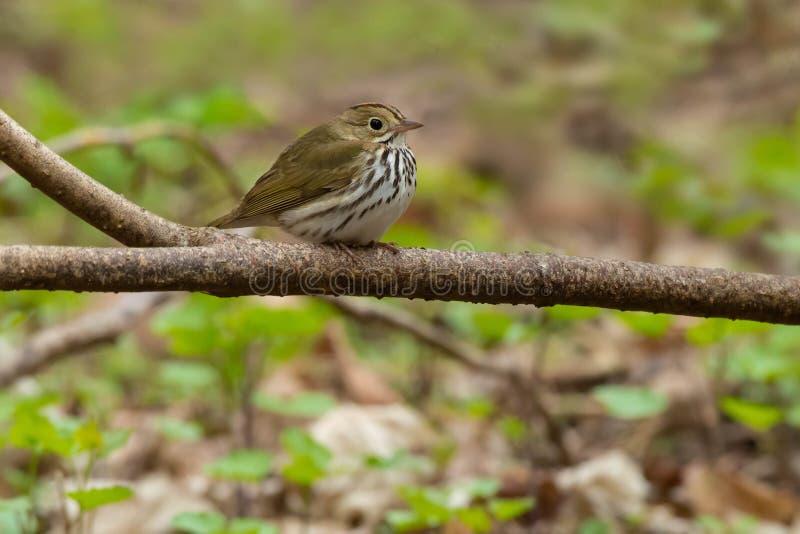 Ovenbird - Seiurusaurocapilla royaltyfria bilder