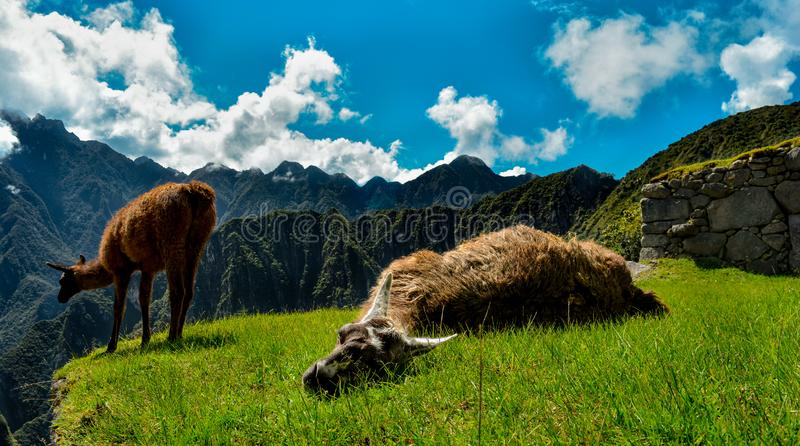 Two llamas rest over the grass stock photography