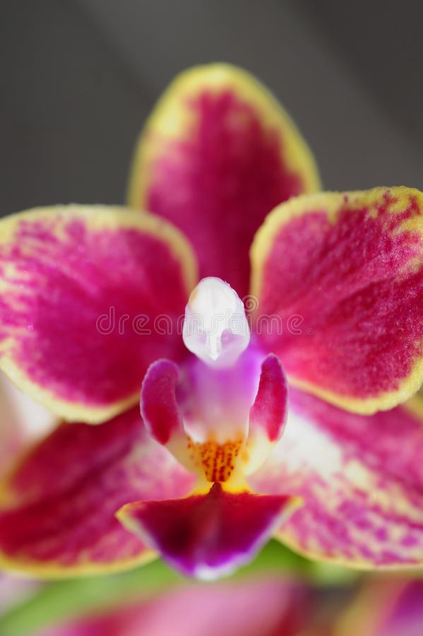A close-up view of a pink and yellow orchid and its reproduction system. royalty free stock photography