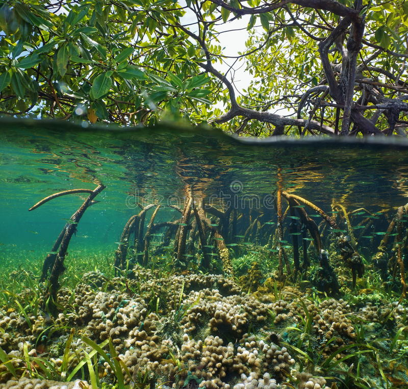 Over and under water surface in the mangrove royalty free stock photo