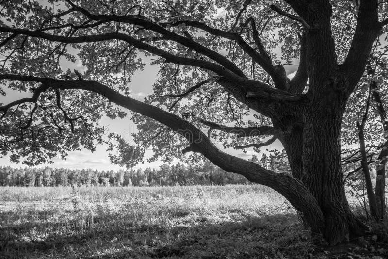 Overblijfseleiken met weelderige die kronen door de koude de herfstzon worden verlicht De mooie oude eiken bosje Gouden herfst stock fotografie