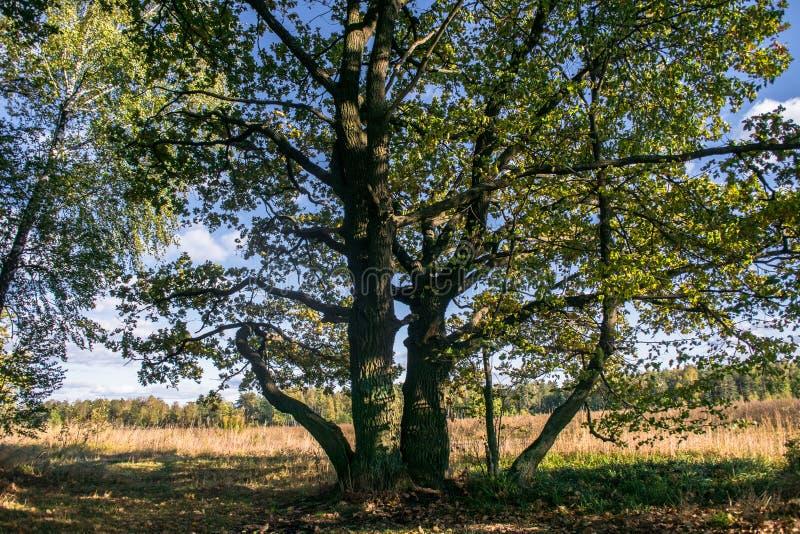 Overblijfseleiken met weelderige die kronen door de koude de herfstzon worden verlicht De mooie oude eiken bosje Gouden herfst royalty-vrije stock foto's