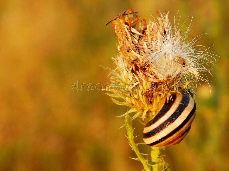 Overblown burdock flower, snail and colorful bug stock photo
