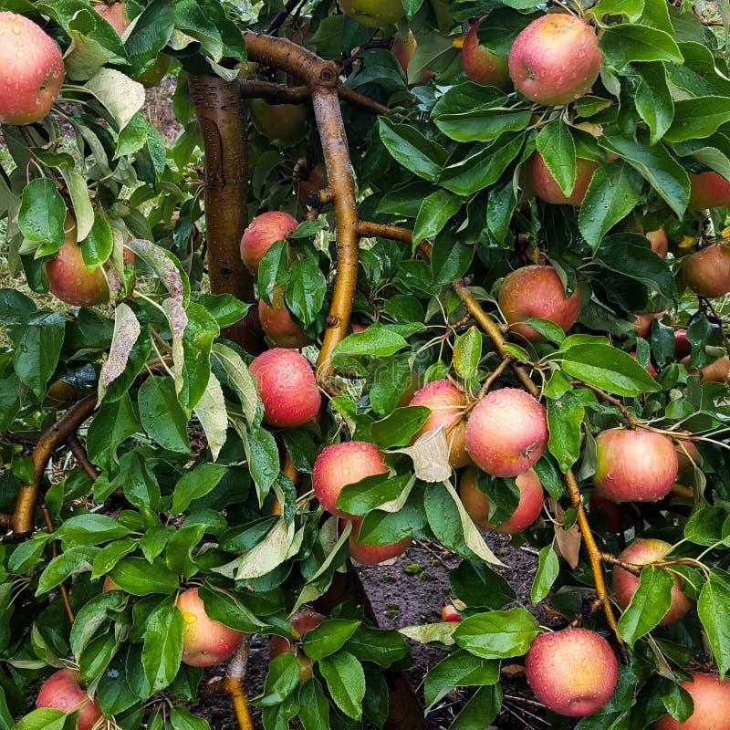 Overburdened Apple Tree stock photography