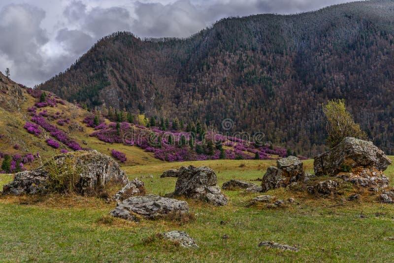 Overcast весны горы рододендрона стоковые фото