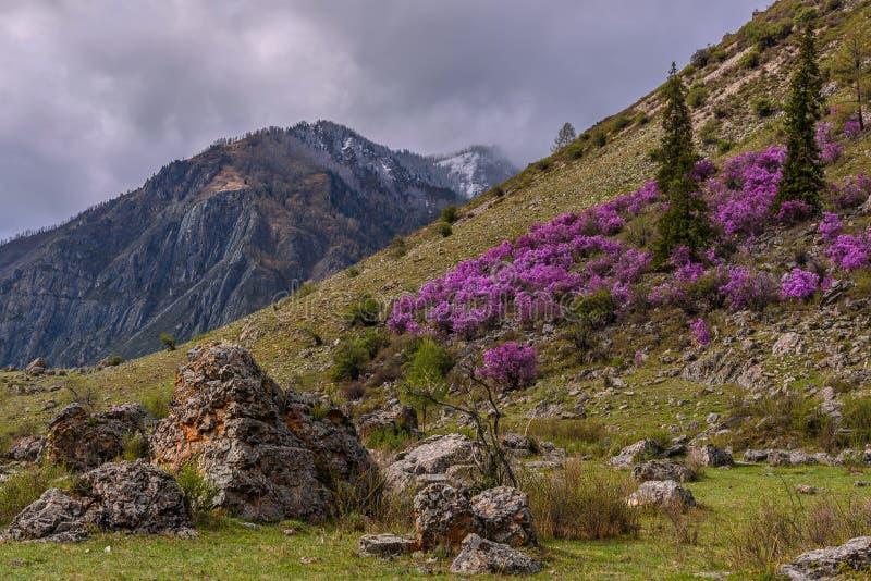 Overcast весны горы рододендрона стоковое изображение