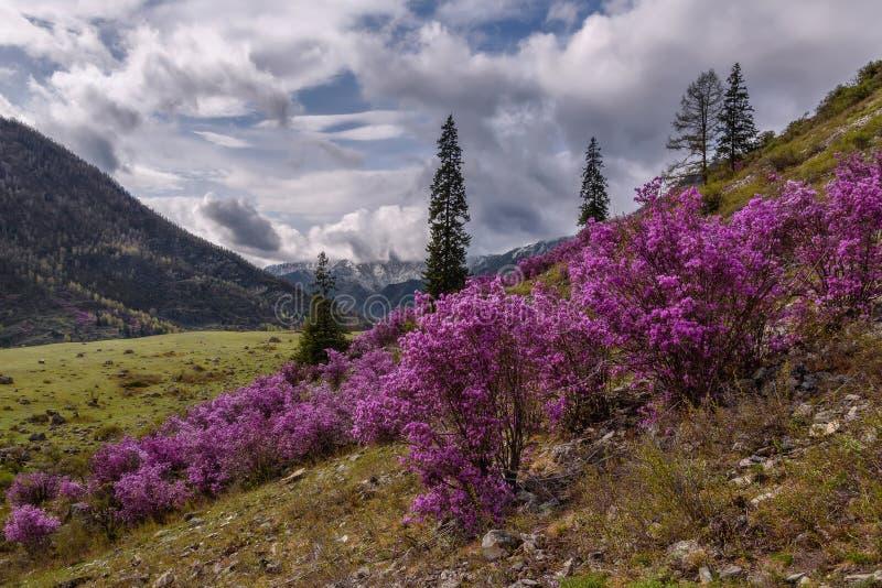 Overcast весны горы рододендрона стоковая фотография