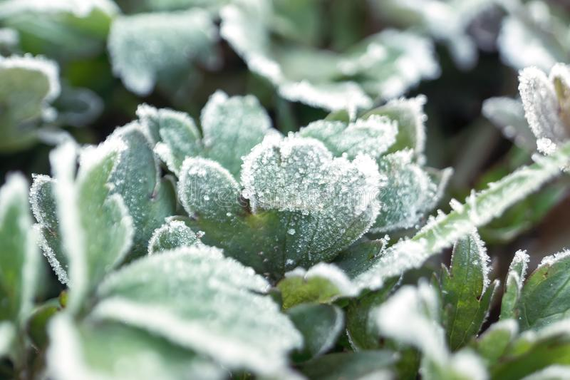 Hoar frost on plants. Overcast natural background with hoar frost on plants stock photography