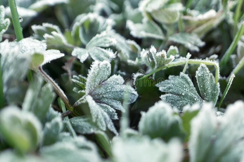 Hoar frost on plants. Overcast natural background with hoar frost on plants stock photo
