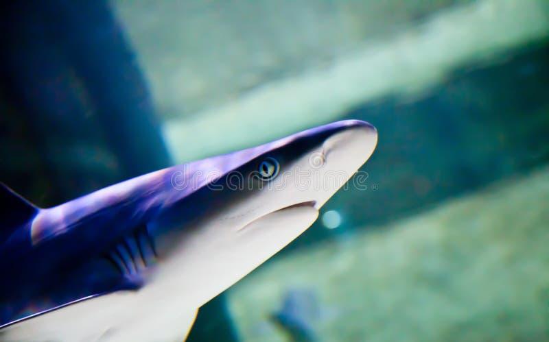 Overgaand Haai gevaarlijk zoals ooit stock foto