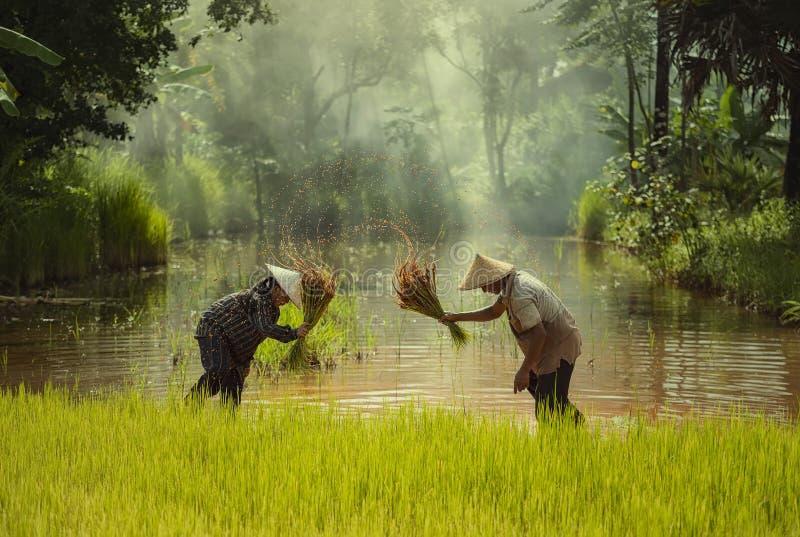 Overgeplante de rijstzaailingen van Azië landbouwer die voor het planten moeten worden verzonden stock afbeeldingen