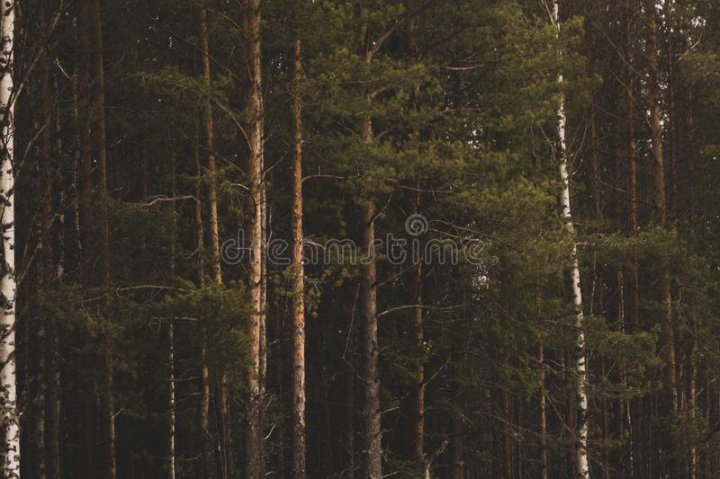 Overgrown forest. trees and plants nature. Background, green, landscape, natural, season, summer, day, environment, outdoor, park, pine, scene, inside, spruce royalty free stock images