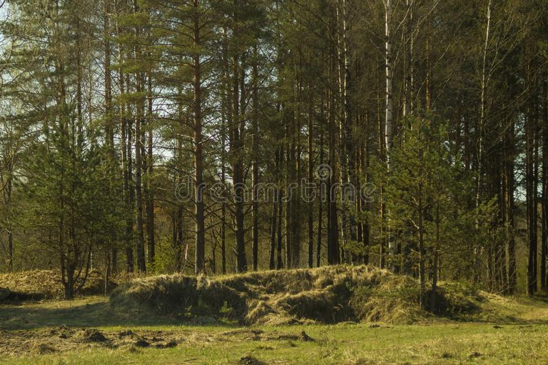 Overgrown forest. trees and plants nature. Background, green, landscape, natural, season, summer, day, environment, outdoor, park, pine, scene, inside, spruce stock images