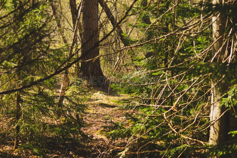 Overgrown forest. trees and plants nature. Background, green, landscape, natural, season, summer, day, environment, outdoor, park, pine, scene, inside, spruce stock photo