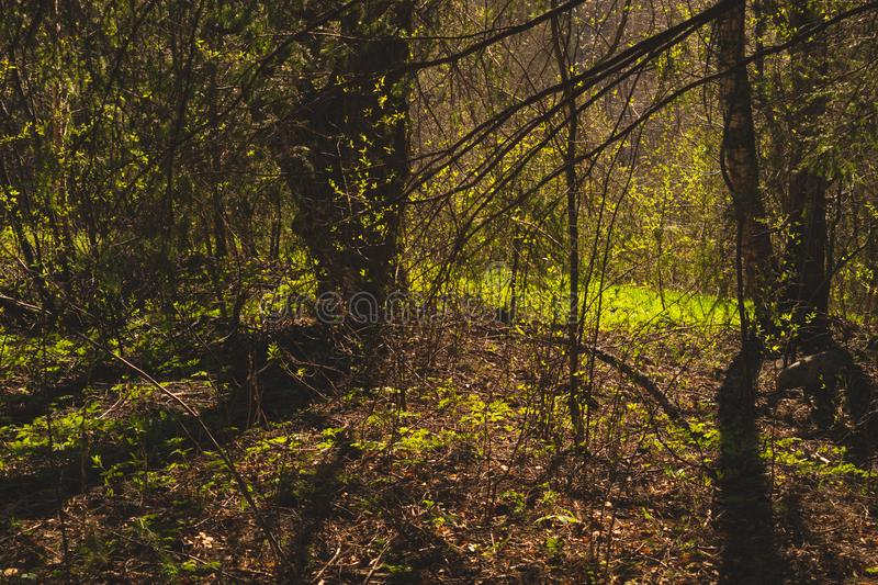 Overgrown forest. trees and plants nature background. Sunny overgrown forest. grass and plants nature background. bushes and greenery, landscape, natural, season royalty free stock images