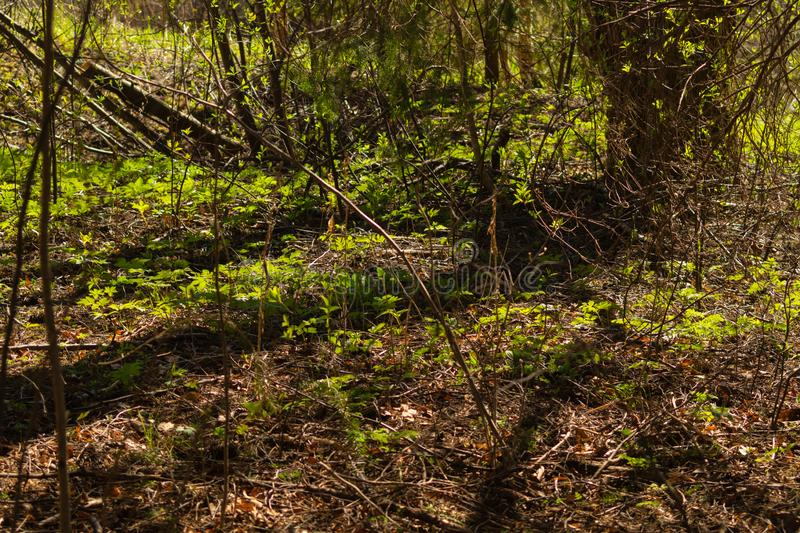 Overgrown forest. trees and plants nature background. Sunny overgrown forest. grass and plants nature background. bushes and greenery, landscape, natural, season stock image