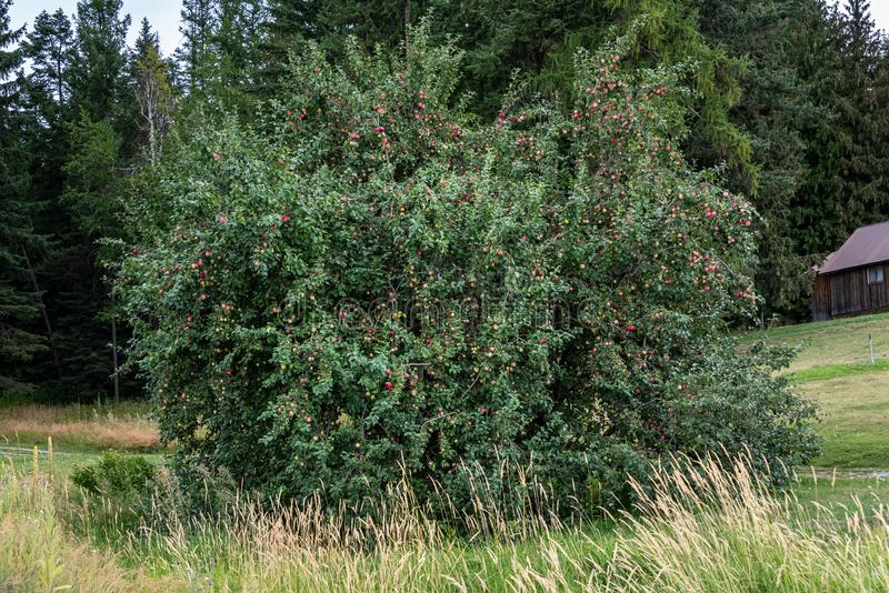 Overgrown fully loaded apple tree in overgrown lawn, delicious ripe apples royalty free stock photo