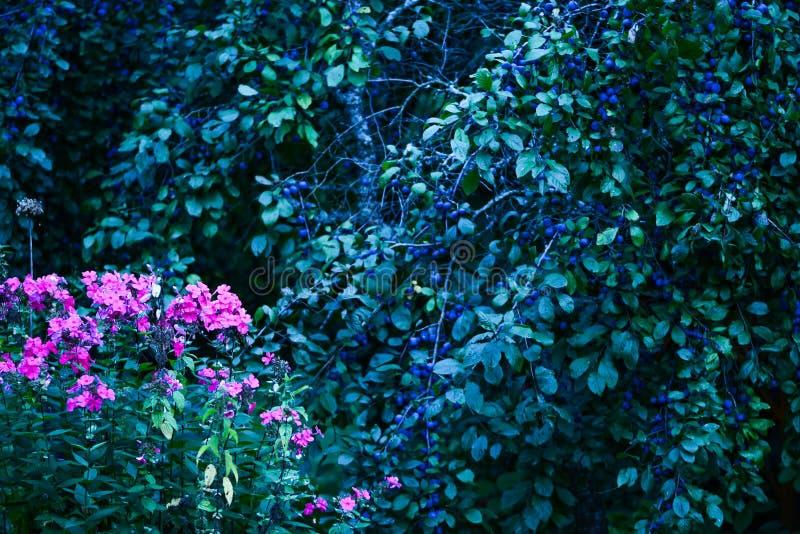 Overgrown garden. Blackthorn, phlox bushes. Blossom summer plants, early autumn. Seasonal garden view, landscape royalty free stock images