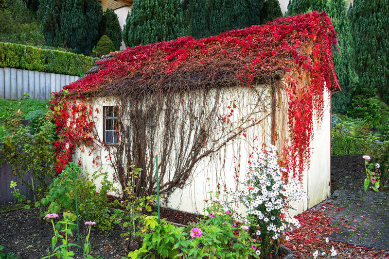 Overgrown garden shed. With red leaves overgrown garden shed in autumn royalty free stock photos