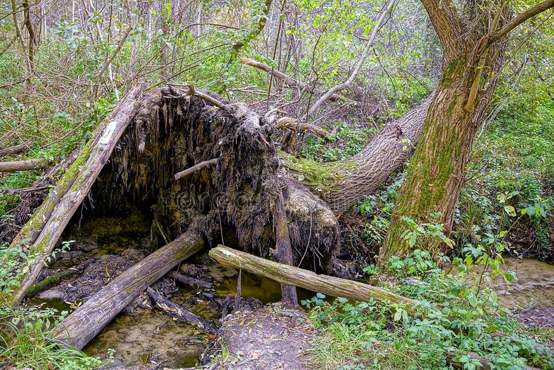 A fallen tree by a stream in a forested forest stock photos