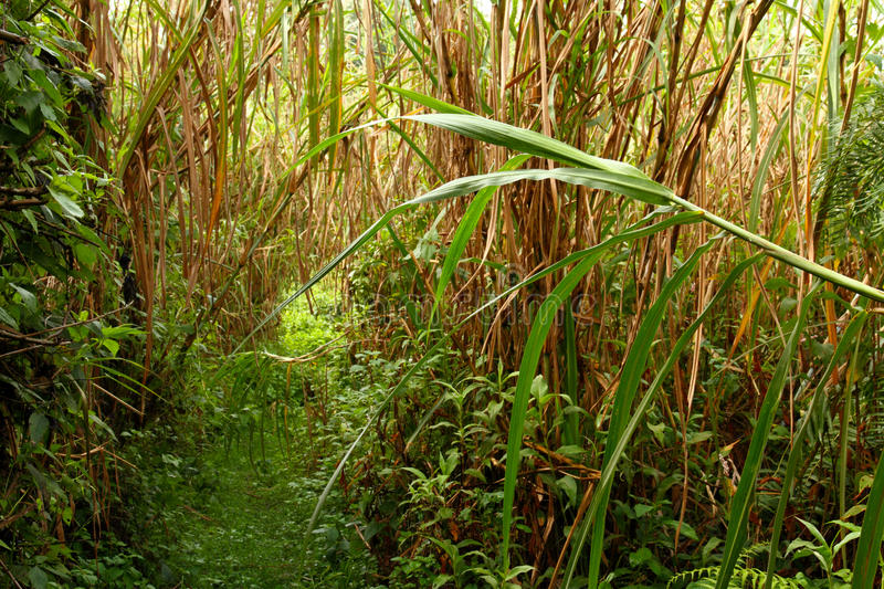 Overgrown Jungle Trail stock photography