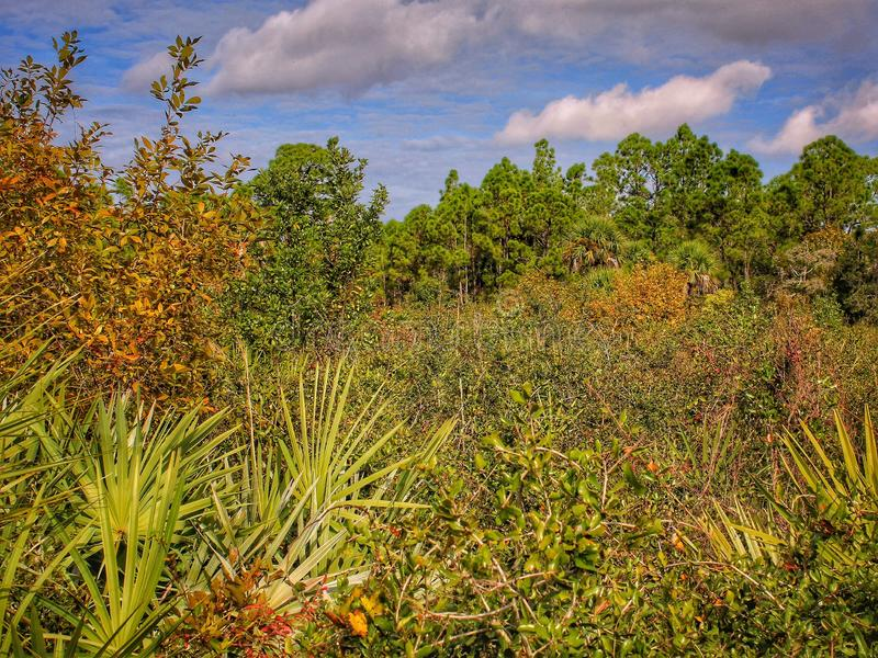 Overgrown meadow in Florida. An overgrown meadow buffets a hiking trail in Florida royalty free stock photo