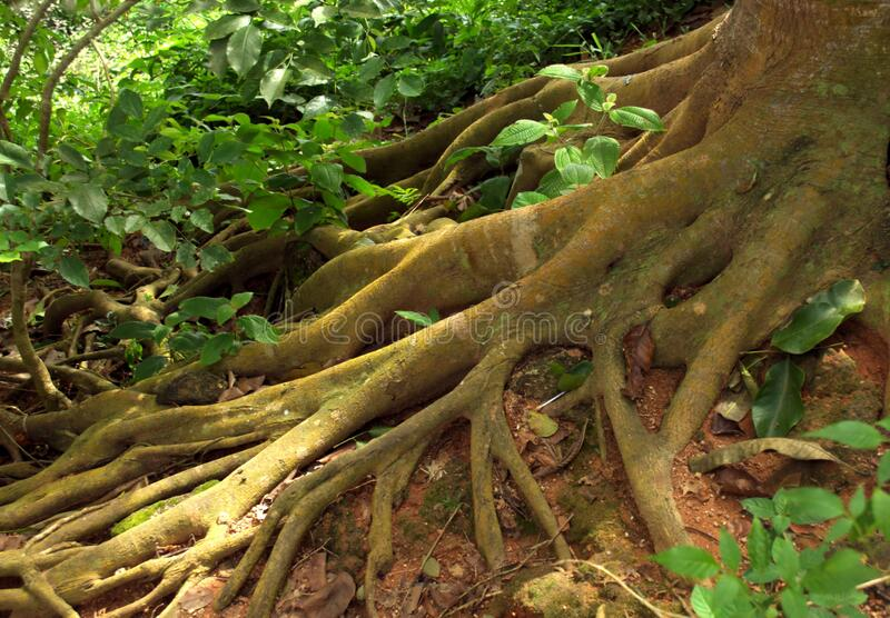 Overgrown roots on the jungle floor in Thailand.  stock images