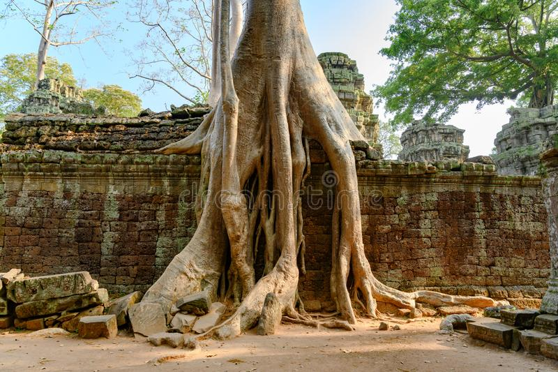 Overgrown ruins on Ta Prohm Temple, Angkor, Siem Reap, Cambodia. Big roots over the walls of a temple. stock photography