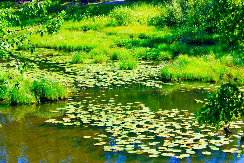 Overgrown with water lilies on the surface of the pond in the forest stock photography