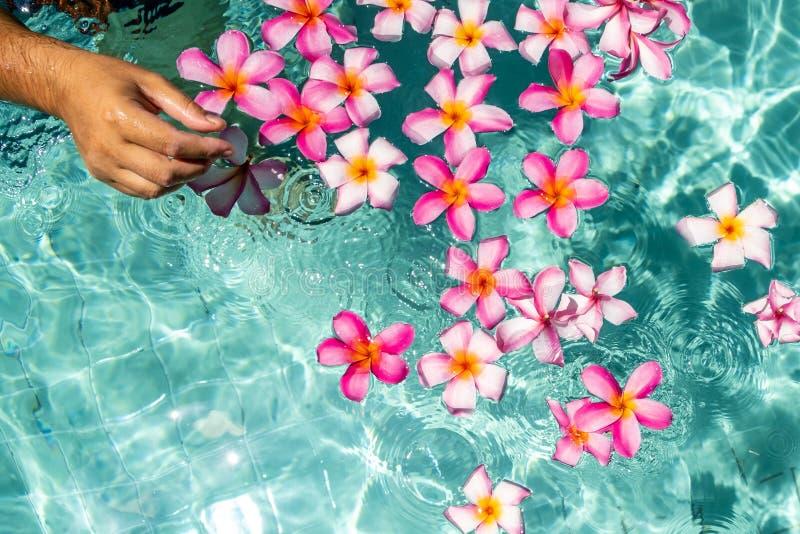 Overhandigt de pool met bloemen Tropische plumeria van bloemenfrangipani, Leelawadee die in het water drijft De kuuroordpool stock afbeeldingen