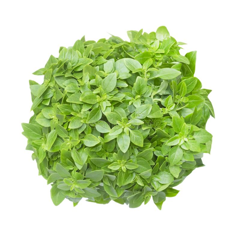 An overhead photo of aromatic basil herb bunch. Ocimum basilicum. Fresh basil leaves isolated on white background. Top view, photo stock photography