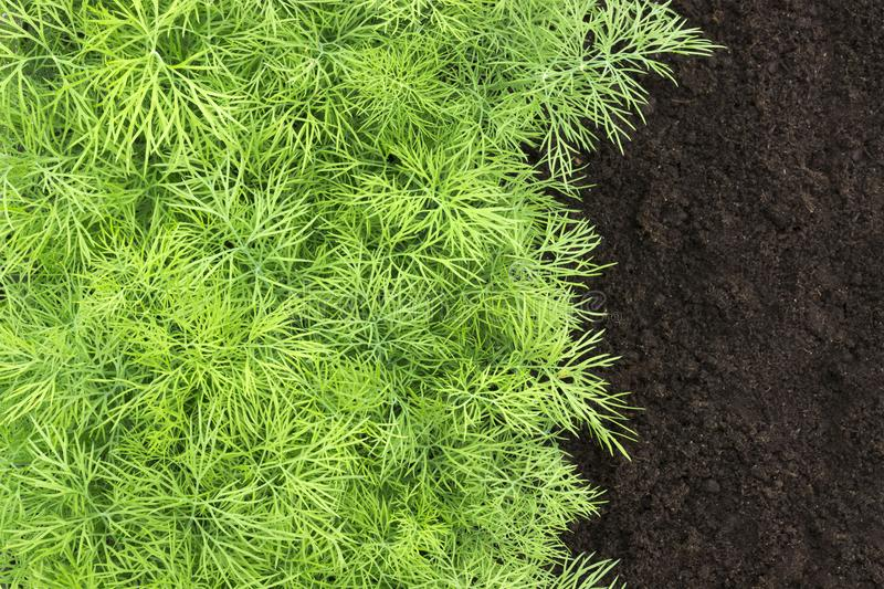 An overhead photo of dill harvest for cookery business. Antioxidant kitchen herb on the eco farm garden bed. Young dill plant on t stock image